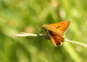 Large Skipper in Margaret's Meadow Photo by Su Haselton