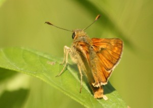 Large Skipper In Willowbank Wood ride Photo by Su Haselton