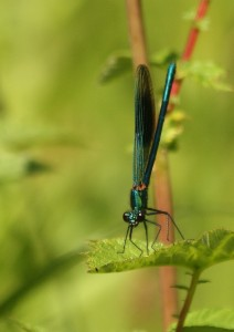 Male Banded Demoiselle Photo by Su Haselton