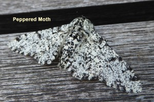 Peppered moth Photo by Liz Brotherstone