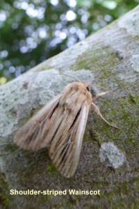 Shoulder - striped Wainscot Photo by Liz Brotherstone