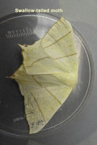 Swallow-tailed Moth Photo by Liz Brotherstone