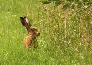 Brown Hare Photo by Su Haselton