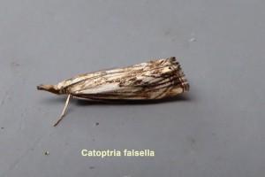 Catoptria falsella Photo by Liz Brotherstone