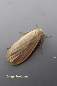 Dingy Footman Photo by Liz Brotherstone