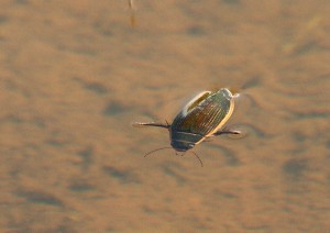 Great Diving Beetle Photo by Su Haselton