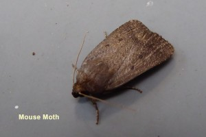 Mouse Moth Photo by Liz Brotherstone