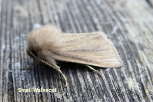 Small Wainscot Photo by Liz Brotherstone