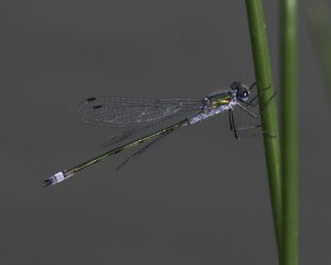Emerald damselfly Photo by Mark Walters