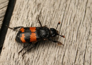 Burying Beetle Photo by Su Haselton