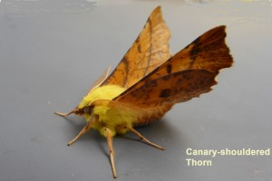 Canary-shouldered Thorn Photo by Liz Brotherstone