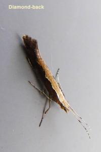 Diamond back (micro moth) Photo by Liz Brotherstone