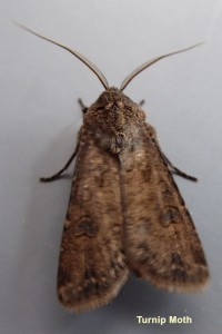Turnip Moth Photo by Liz Brotherstone