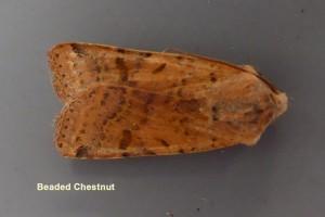 Beaded Chestnut Photo by Liz Brotherstone