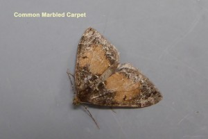 Common Marbled Carpet Photo by Liz Brotherstone