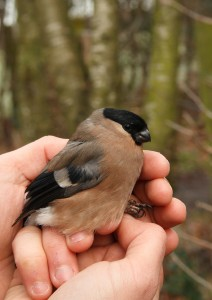 Female Bullfinch Photo by Su Haselton