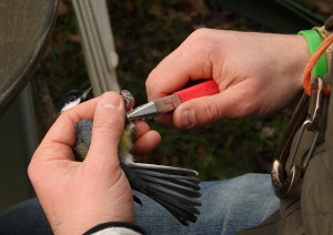 Great Tit being ringed Photo by Su Haselton