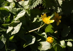 Lessser Celandine Photo by Su Haselton