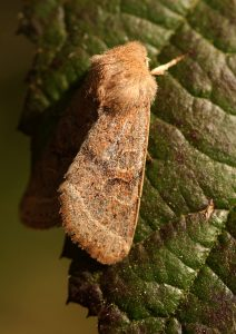 Common Quaker Photo by Su Haselton