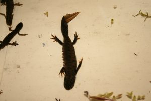 Great-crested newt Photo by Su Haselton