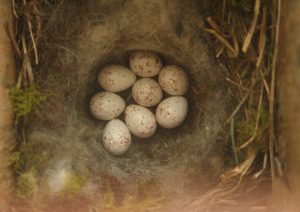 Great Tit eggs Photo by Su Haselton
