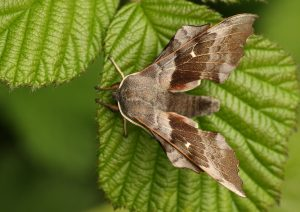 Poplar Hawkmoth Photo by Su Haselton