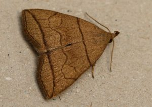 Small Fan-foot moth Photo by Su Haselton