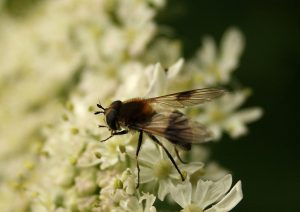 Volucella pellucens hoverfly Photo by Su Haselton