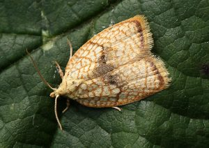 Acleris forsskaleana Photo by Su Haselton