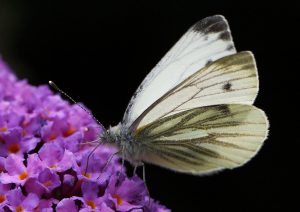 Green-veined White Photo by Su Haselton