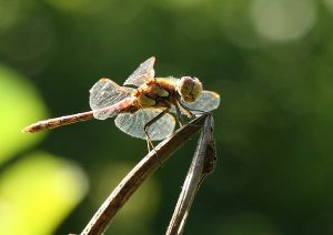 Common Darter (male) Photo by Su Haselton