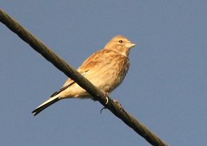Linnet Photo by Su Haselton