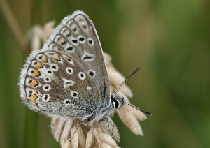 Common Blue Photo by Su Haselton