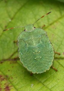 Common Green Shieldbug Nymph Photo by Su Haselton