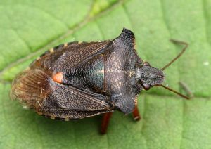 Red-legged Shieldbug Photo by Su Haselton