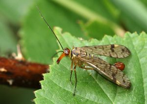 Male Scorpion Fly Photo by Su Haselton