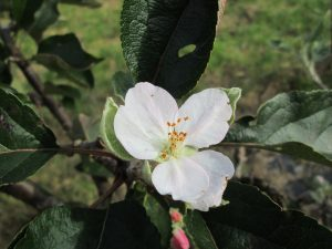 Ribston Pippin blossom in October! Photo by Fred Izzett